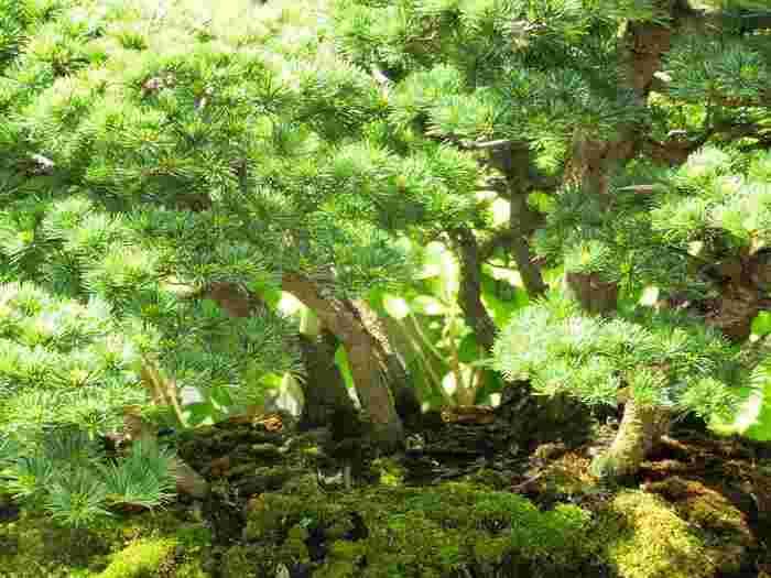 実は、盆栽美術館のすぐ隣には盆栽村があります。大宮公園の北側一帯を総称して「盆栽村」と呼び、大正11年に東京から移り住んできた盆栽業者と村の人によって作られました。戦前は30軒ほどの盆栽業者があり、たいそう賑わっていたようです。現在では盆栽町には5軒の盆栽園があります。盆栽美術館と一緒に訪れてみるのもいいですね。