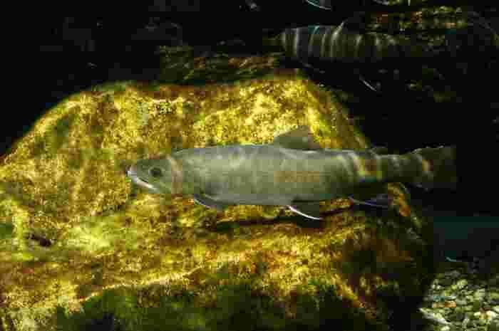 水槽では、多摩川に住む魚を「最上流」「上流」「中流」「下流」の4つに分けて展示しています。「最上流」ではヤマメやイワナといった渓流魚も見られます。水道局の一角にある小規模な施設ですが、多摩川の魚のことを知るいい機会になりますよ。
