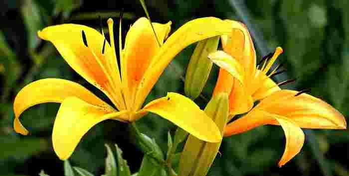 「純潔」「無垢」といった美しい花言葉を持つユリですが、実は黄色は「偽り」「不安」「陽気」、オレンジは「軽率」「愉快」とネガティブな花言葉も持っています。白以外のユリを選ぶ際には気をつけたいですね。