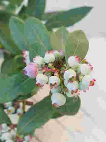 花が咲いた後には、次第に実が膨らみ色づいてきます。やがて収穫ですね。収穫期は地域や品種によって異なります。