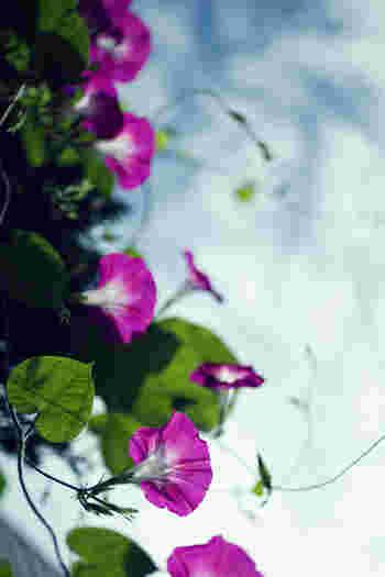 日本の夏の風物詩「朝顔」。その可憐に咲く姿は見る人を涼しく、さわやかな気持ちにさせてくれます。近年、その朝顔でつくる「グリーンカーテン」が注目されています。