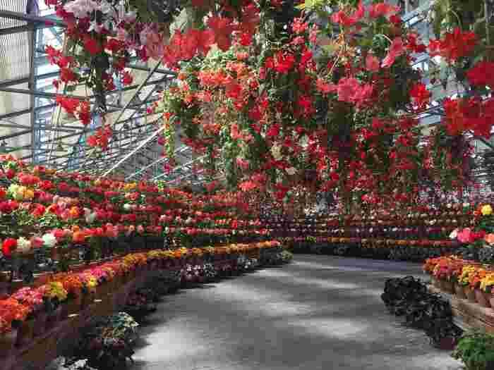 大輪の花を咲かせる球根ベゴニアがずらりと並ぶ様子は圧巻です。よく見ると、一輪一輪花びらの色や折り重なり方が違うので、じっくりとベゴニアを観賞してみるのもおすすめです。