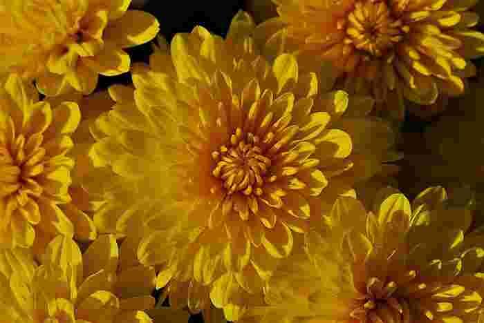 11月の花:菊