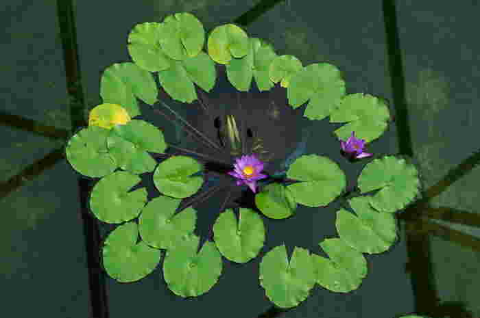 数々の熱帯スイレンが鮮やかに咲いています。神代植物公園は熱帯スイレンがもっとも充実しています。