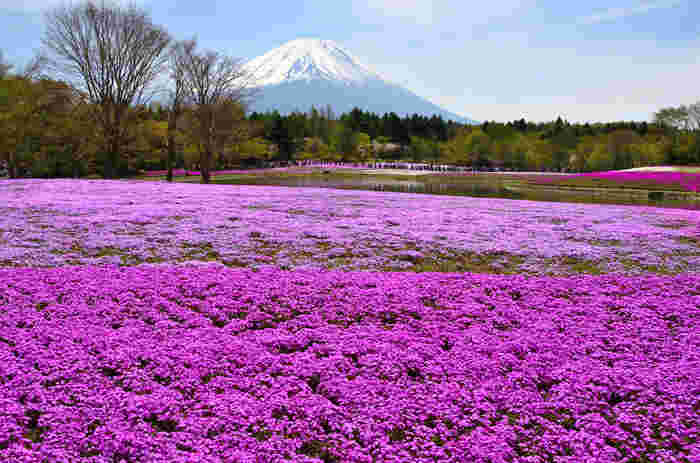 日本一の標高を誇る富士山麓にある富士本栖湖リゾートでは、冠雪した富士山を背景に、約80万株の芝桜が開花し、春の山梨県を彩る風物詩である「富士芝桜まつり」が開催されます。残雪が美しい富士山、濃淡ピンクの芝桜、緑の樹々、青空が融和した景色は、絵画のような素晴らしさです。