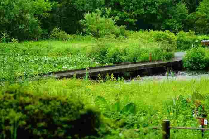 園内には、仙石原の湿原の動植物を紹介する展示室のほか、売店や休憩所があるので、ゆったりと散策できます。冬季は閉園していますが、春から秋へと季節毎に周囲も湿原も景色が変わるので、何度でも足を運びたくなる素晴らしい植物園です。 【7月上旬の園内】