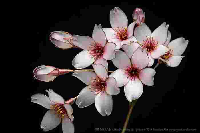 磁器のように艶やかな白い花びらですが、先端はガラスのように透き通って光を通します。まるで夢と現実の境目のように。 Photo by Ryoukan Abe (www.ryoukan-abe.com)