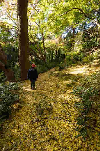 真っ赤なもみじの下には、同じく真っ赤な絨毯のように広がるもみじの落ち葉。踏みしめると、ふわふわとした触感があり、本物の絨毯の上を歩いているかのような錯覚を覚えます。さらに奥に進むと、今度は銀杏の絨毯が迎えてくれます。眩しいほどに輝く黄金色の世界は、異空間に来たかのよう。