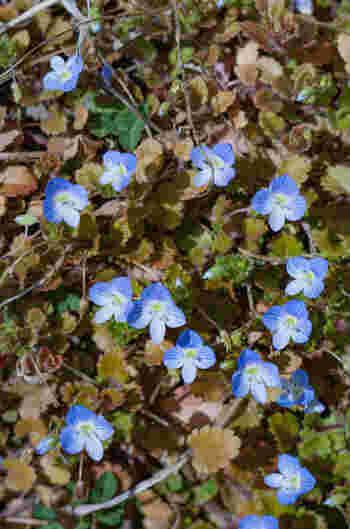 """原産国はヨーロッパで、明治期に日本にやってきたといわれてます。学名は、聖書中、聖ヴェロニカが持っていた青い布に由来)。 和名はちょっと残念ですが(ご関心がおありの方は検索してみて)、花の姿を美しく表現した「星の瞳」の別名もあります。直径5mmと小さな花。1日で枯れてしまうため、""""道端鑑賞""""がおすすめ(^.^)"""
