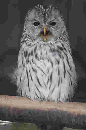 北海道に生息するエゾフクロウも、北海道産動物舎で飼育されています。夜行性の猛禽類、エゾフクロウは自然環境下では、なかなか出会うことが出来ませんが、ここでは、エゾフクロウがどのように過ごしているのか、じっくりと観察することができます。