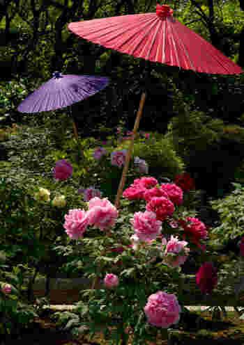 毎年牡丹が見ごろを迎える4月中旬から5月中旬にかけて、大仙公園・日本庭園では牡丹展が開催され、華麗な花々が日本庭園の春を彩っています。