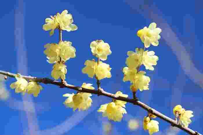 ■1月下旬~2月上旬 ロウバイ(蝋梅)や早咲きの梅は見頃を迎えます。ロウバイは、可憐な黄色い梅です。満開でもさりげなく佇むロウバイは、奥ゆかしい雰囲気が素敵ですね