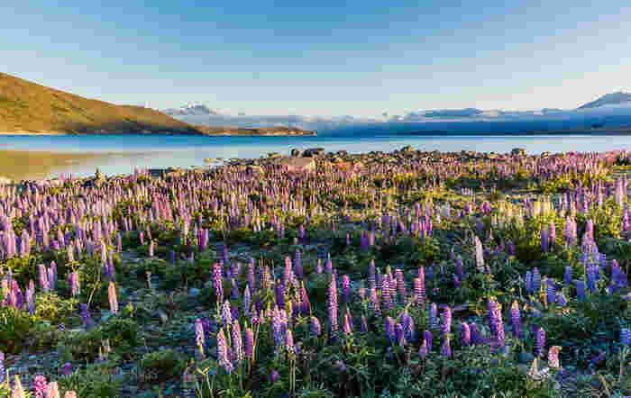 11月~12月に見頃を迎えるルピナスの花。ニュージーランド南島にあるテカポ湖では、このルピナスとミルキーブルーの湖が、まるで絵画のような景色を作ります。
