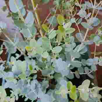 丸みを帯びた小さな葉っぱがかわいらしいユーカリは、見た目に反して比較的丈夫な植物。日当たりの良い場所に置きっぱなしにしておいても、きちんと育ちます。乾燥にも強いので、水やりは少量でOKです。