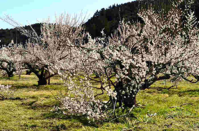 九州太宰府天満宮から梅園神社に分祀したときに、梅の木を植樹したのが始まりとされ、中には樹齢650年以上になる古木もあるそうです。歴史を感じますね。