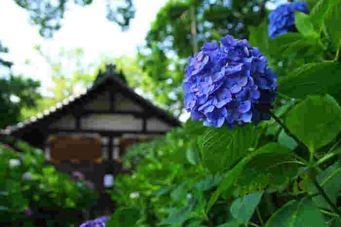 京都市伏見区に鎮座する藤森神社は、伝承によると紀元203年に創建された古い神社です。菖蒲の節句の発祥地として知られているほか、京都有数のアジサイの名所でもあります。