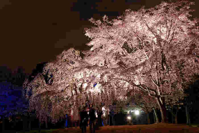 大阪城公園の中でも重要文化財に囲まれた西の丸庭園では、夜になると桜の樹々がライトアップされ、夜桜鑑賞を楽しむことができます。