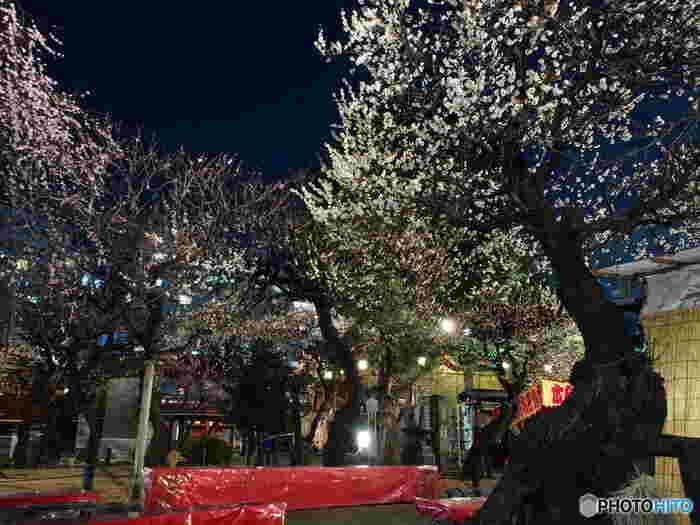 梅まつりでは、夕暮れどきからライトアップも行われて幻想的な梅を眺めることもできます。毎年40万人もの方が訪れるというお祭りに、ぜひ足を運んでみてはいかがでしょうか?