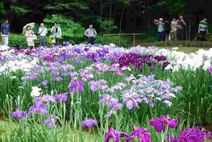 園内は、多種の木々、季節折々で見頃を迎える花々が植えられ、春夏秋冬、季節を問わず楽しめますが、特に素晴らしいのが、水辺を彩る『ハナショウブ』が咲き揃う頃。雅な風情、しっとりとした情景が楽しめます。【6月初旬の菖蒲田】