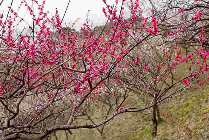なだらかな丘陵地帯に位置する南部丘丘陵公園は、四日市市最大の公園です。園内には、紅梅、白梅、枝垂梅などを中心として約3000本の梅が植栽されています。