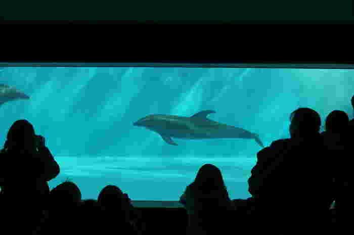 また、スタジアムの真下にあたる地下1階には、「イルカの窓」と呼ばれるエリアがあります。イルカたちの泳ぐ姿を真横から見られるのも貴重な体験。スタジアムとはちょっと違った醍醐味があります。
