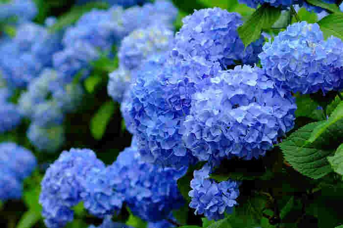 開花してから、花の色が変化することから、少し悲しい花言葉がつけられているアジサイ。「移り気」「高慢」「辛抱強い愛情」「元気な女性」「あなたは美しいが冷淡だ」「無情」「浮気」「自慢家」「変節」「あなたは冷たい」など悲しいものばかりです。