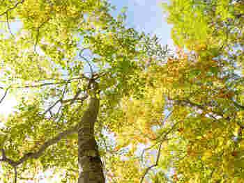 尾瀬の玄関口である鳩待峠。尾瀬ヶ原までのハイキングコースが整備されています。周囲にはブナの木が生い茂り、紅葉シーズンは特に美しいんですよ。空の青によく映えますね。