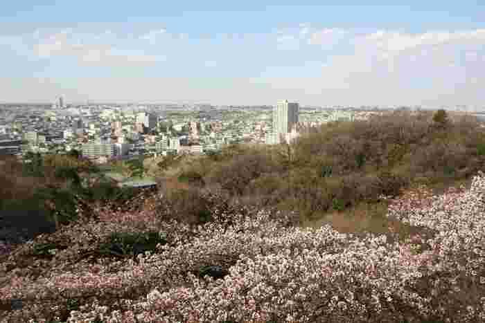 広大な敷地を誇る生田緑地の枡形山広場もあまり知られていない桜の名所。枡形山広場は標高が高いところにあり、展望台からは桜越しの川崎市を見下ろせます。展望台は360°見渡すことができ、都心まで一望できます。