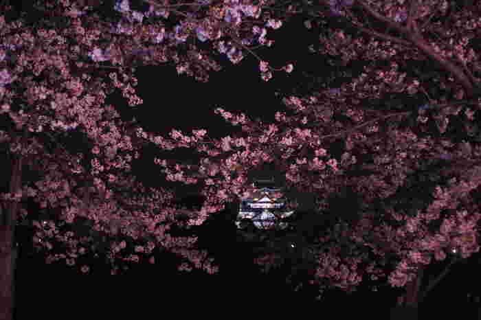 大阪城公園の桜は夜になるとライトアップが施されます。漆黒の世闇を背景に淡いピンク色の桜の花が浮かび上がる様は幻想的でいつまで眺めていても飽きることはありません。