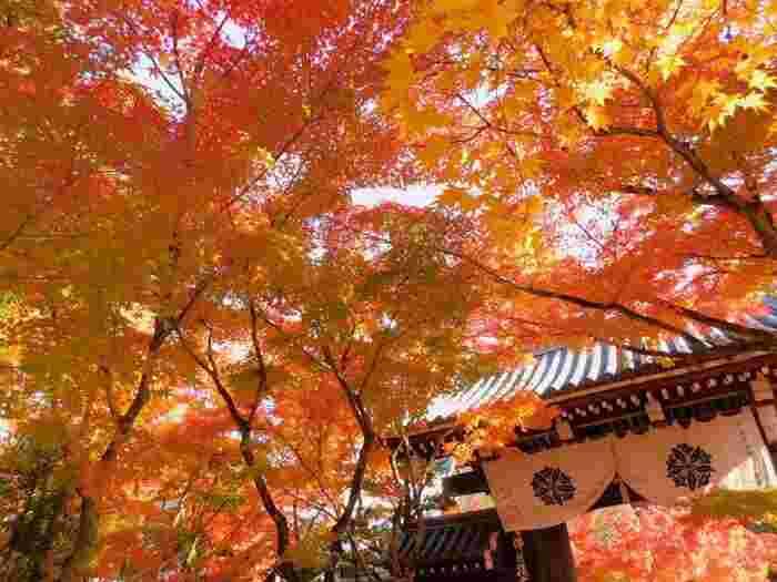 """南禅寺に足を運ぶのなら、南禅寺に北側に隣接する「永観堂」へも足を伸ばしましょう。 「永観堂」は、古くから""""もみじの永観堂""""として知られる京都有数の古刹の一つ。今もなお、京都屈指の人気の誇る紅葉スポットです。【11月中旬の永観堂】"""