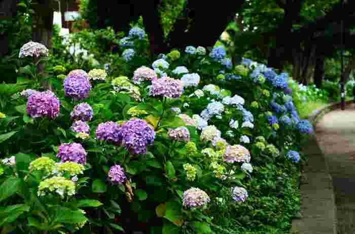 満開の花を咲かせるアジサイが植栽された公園内は気持ちよく、梅雨ならではのどんよりとした億劫な気分を吹き飛ばしてくれます。