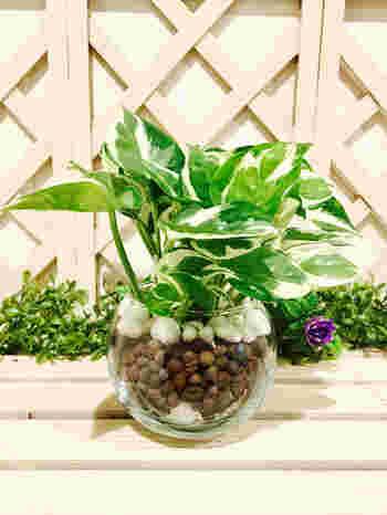 つる性の植物で、初心者でも簡単に増やすことができるポトス。同じポトスでも、マーブルやライムなど葉の色や模様の入り方でいくつか種類があります。