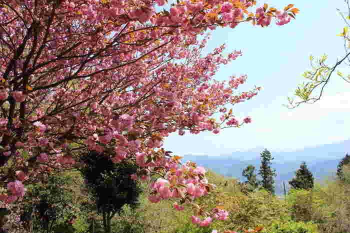高尾山では、お花見スポットでよく見かけることができるソメイヨシノとは異なる八重咲きをする山桜など珍しい品種の桜も植樹されています。