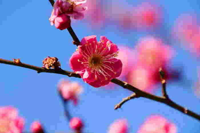日本で最も早咲きの梅の花が見られる「熱海梅園」では、例年11月下旬から12月上旬に一輪目の梅の花が咲きます。59品種、472本もの梅が、早咲き・中咲き・遅咲きと順に咲いていくので、その時々の梅の美しさを鑑賞できます。