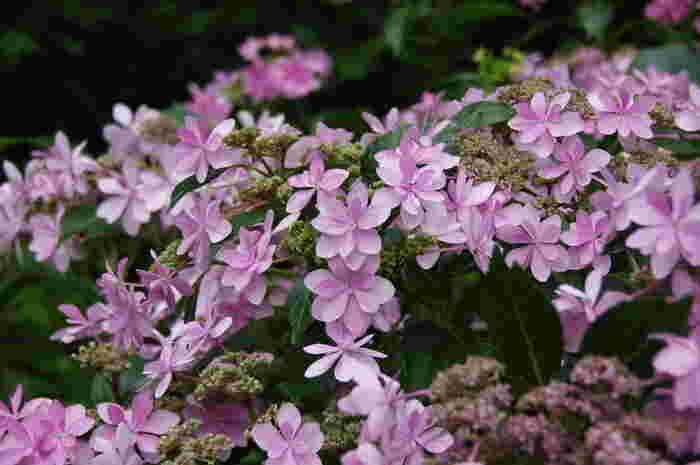 京都府立植物園内にあるあじさい園には、約180種類、2500株ものアジサイが植えられています。よく見かける日本のアジサイの他、西洋紫陽花など、様々な種類のアジサイを鑑賞することができます。