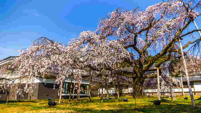874年に創建された醍醐寺は古くから桜の名所として親しまれており、豊臣秀吉が「醍醐の花見」と呼ばれる盛大な花の宴を行ったことで有名です。