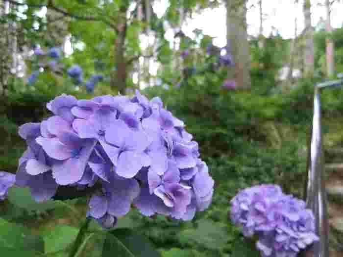 三千院境内にある「あじさい苑」には、約3000株以上ものアジサイが花を咲かせます。
