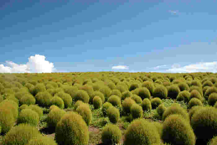 ちなみに、『ほうき草』もホウキモロコシと同様に江戸箒の材料なのですが、見た目はなんとなくふわふわと柔らかそうですが、実は硬くて座敷箒には向かないため、「庭掃き専用の箒」の材料として使われています。