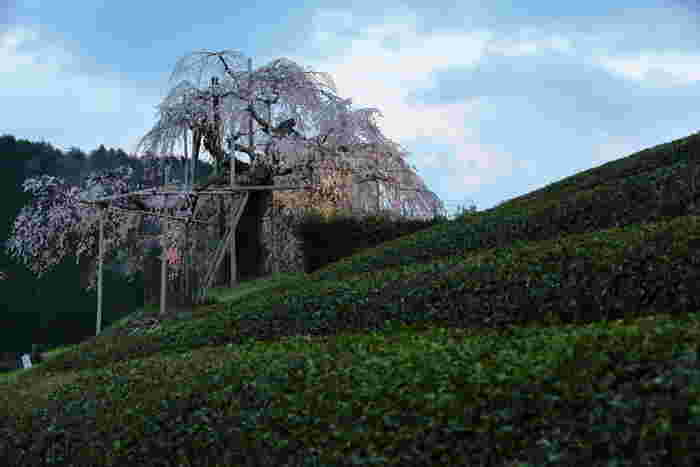 畑のしだれ桜とは、茶畑が広がる丘に佇むエドヒガンザクラの銘木です。このしだれ桜は、樹齢400年の桜で、甲賀市の天然記念物に指定されています。
