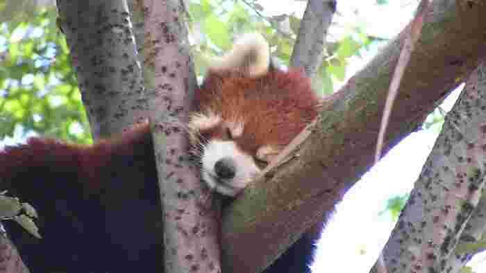 旭山動物園では、普段なかなか見ることができないレッサーパンダが眠る姿を見ることができます。木の上で、絶妙のバランスを取りながらすやすや眠るレッサーパンダの愛らしさは、思わずカメラに収めたくなるほどです。