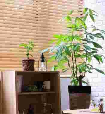 日光が大好きなパキラですが、直射日光を当てすぎると葉焼けをおこしてしまうことも。薄いカーテン越しの明るい室内の窓辺あたりが、パキラにとって快適なポジションです。