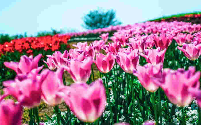 チューリップ全体の花言葉は「博愛」「思いやり」「名声」「恋の宣言」と、優しい人や輝いている人にぴったりの意味。また、赤は「愛の告白」、ピンクは「真実の愛」、紫は「不滅の愛」なので、愛する人に贈る花としてもおすすめです。