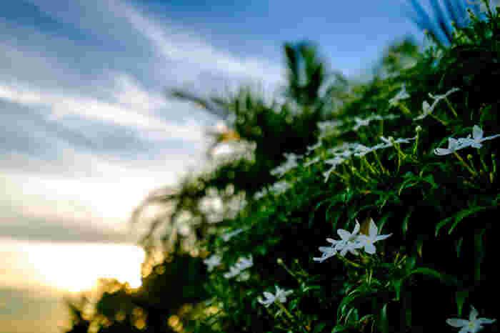 ジャスミンは香水やお茶などにも使われる魅惑的な香りを持つ花。花言葉は「あなたは私のもの」「愛想のよい」「優雅」「愛らしさ」「官能的」と幅広い意味を持ちます。可憐な花からは想像がつかない濃厚な香りが、花言葉の多さに表れているのかもしれません。