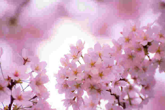 満開に咲いた美しい桜、できれば落ち着いて眺めたいですよね。そこで、桜がきれいなのにあまり混雑しない名所をご紹介します。場所取りや周囲で騒ぐ声などに煩わされずに桜を楽しめますよ。