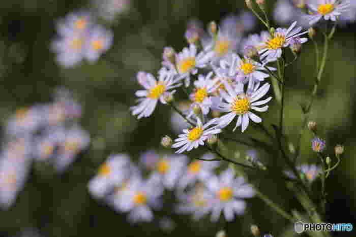 薄紫の小さな花をたくさん咲かせるシオン。数々の古典文学にも登場する花で、花言葉は「君を忘れない」「追憶」「遠方にある人を思う」です。別名・思い草とも呼ばれ、「今昔物語」で亡くなった父を思う兄弟の弟の方がお墓のそばに植えたという話が花言葉の由来になっています。