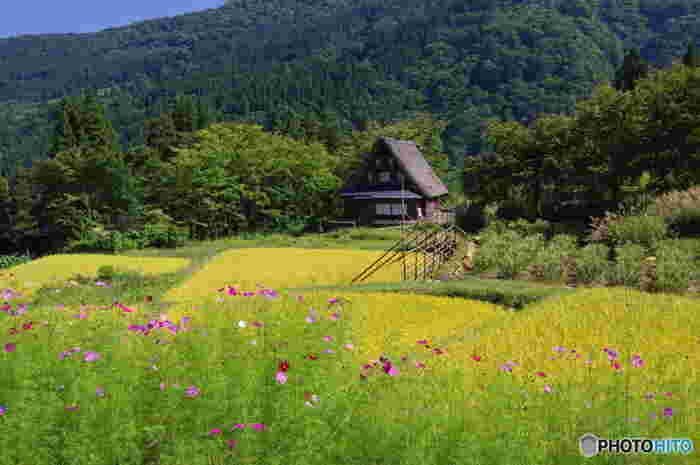9月お盆を過ぎたころの「五箇山」。集落の田んぼの稲穂も垂れ下がり、黄色く色付いてきます。秋の花々も目に鮮やかです。
