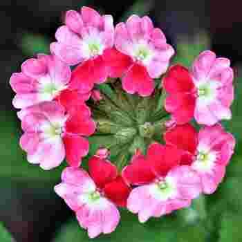 小花がまとまって咲くバーベナは、とても丈夫で育てやすい植物。春から秋まで、長い間花が楽しめます。種まきは、3月下旬~4月中旬に。苗は4~5月に出回りますので、購入したら早めにプランターに植え替えしましょう。