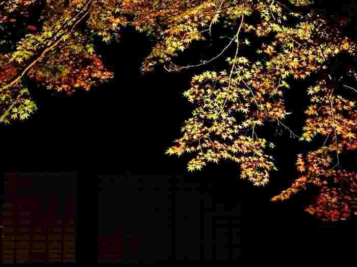 漆黒の闇夜に、輝くように浮かび上がるもみじの枝葉は、京友禅の染柄のようで、芸術的な美しさを醸し出しています。