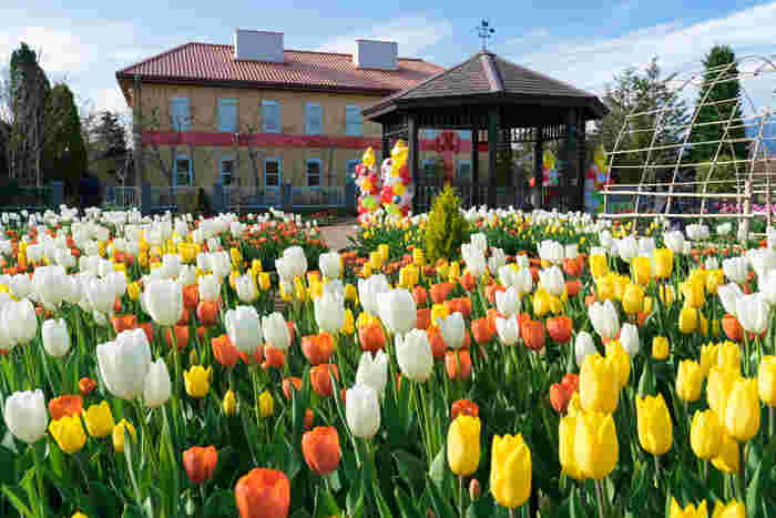アグリゾーンにある触れん土(ふれんど)ファームでは、春になるとチューリップが一斉に開花します。色とりどりのチューリップが競うように花を咲かせている様は、私たちに春の訪れを告げているかのようです。