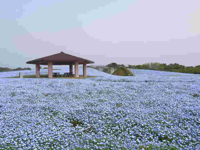 四季を通して、美しい花や緑が溢れる海の中道海浜公園。博多湾と玄界灘の2つの海の景色を楽しめる、日本国内でもめずらしい国営公園です。  広大な敷地面積を誇る海の中道海浜公園のなかでも、「花の丘」と呼ばれる花畑は有名。春は青のネモフィラ、秋にはピンクのコスモス畑が広がりおとぎ話の世界にいるような素晴らしい景色を楽しめます。